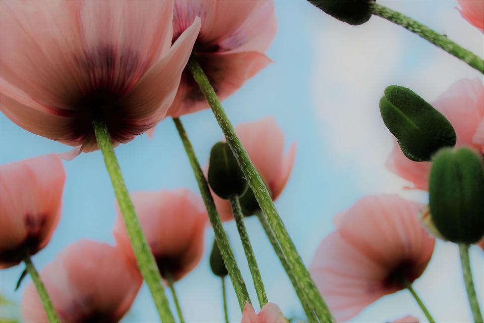 Poppy, Meadow, Sun, Summer, Low Angle Shot, Flora
