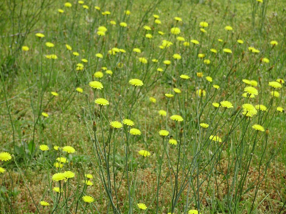 Flowers, Meadow, Summer, Yellow, Outdoor, Nature