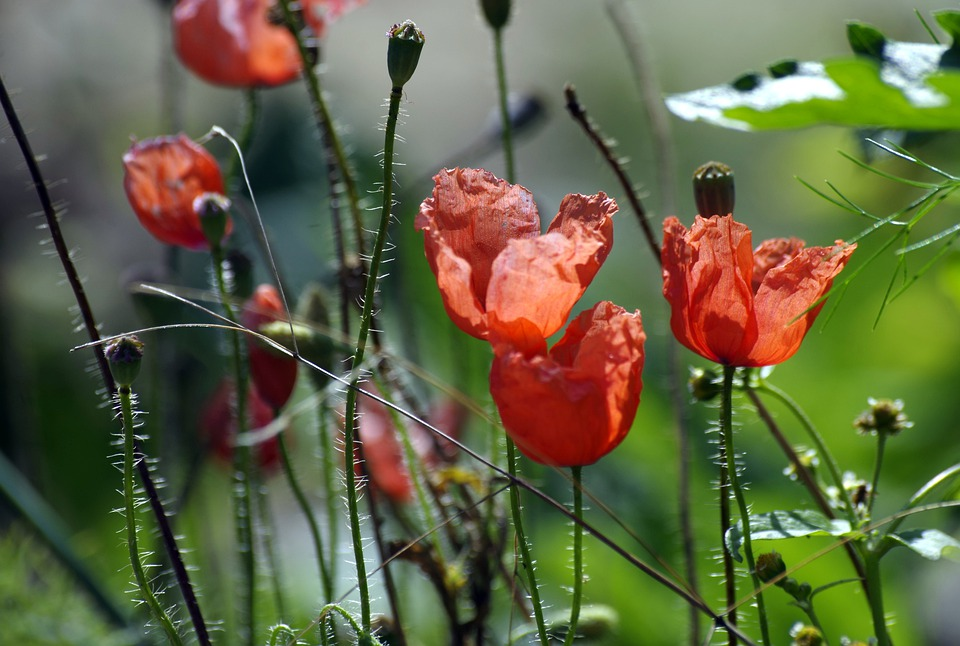 Meadow, Poppy, Shining, Red, Flowers, Summer