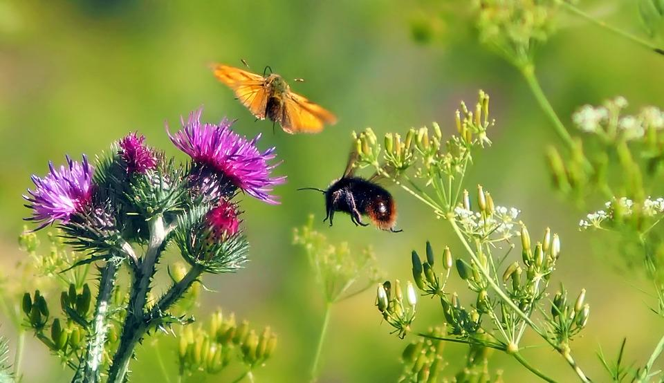 Meadow, Butterfly, Hummel, Thistle Flower, Insect