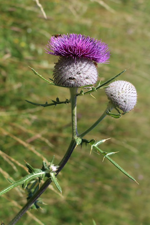 Thistle, Thistles, Summer, Meadow, Thistle Flower