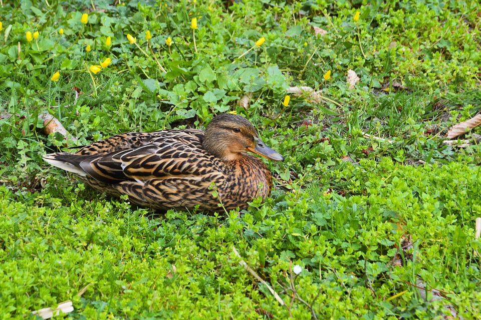 Mallard, Duck, Meadow, Water Bird, Nature