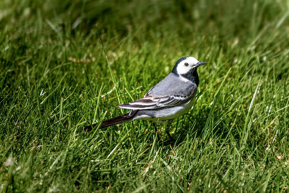 White Wagtail, Bird, Meadow, Close Up, Nature, Animal