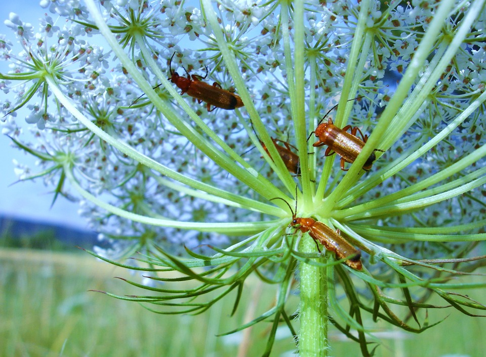 Beetle, Meadow, Insect, Wild, Carrot
