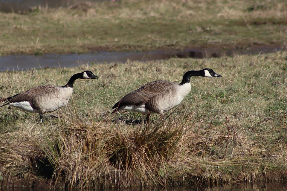 Geese, Waterfowl, Wild Geese, Canada Goose, Meadow