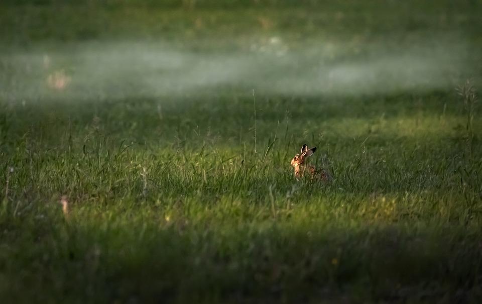 Rabbit, Grass, Meadow, Hare, Animal, Mammal, Wildlife