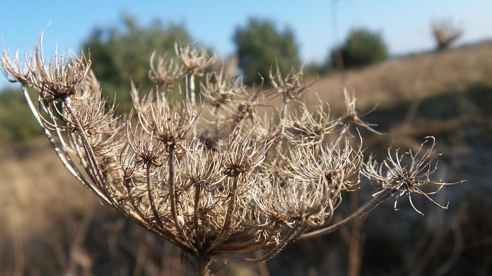 Wild Carrot, Winter, Withered, Meadow