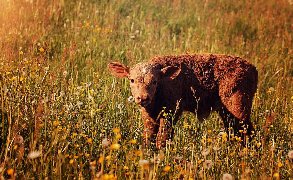 Calf, Red, Young Animal, Livestock, Cattle, Meadow