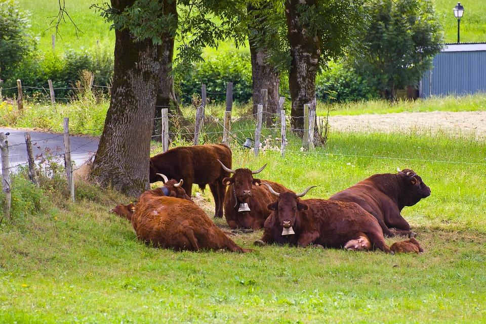 Cows, Prairie, Field, Auvergne, Meadows, Pasture, Grass