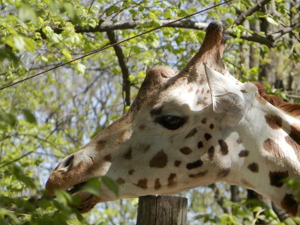 Giraffe, Zoo, Animal, Spotted, Meal