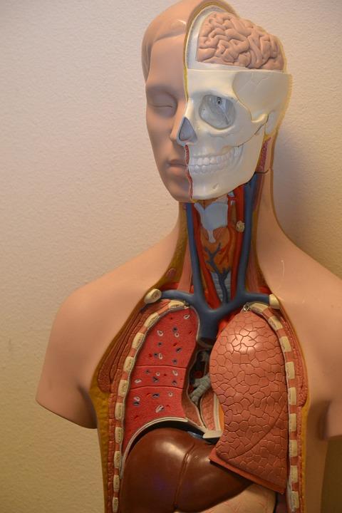 Medical, Anatomy, Science, Anatomical, Body, Biology