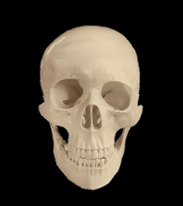 Free Photo Medical Skull Study Bones Osteology Bone Anatomy Max Pixel