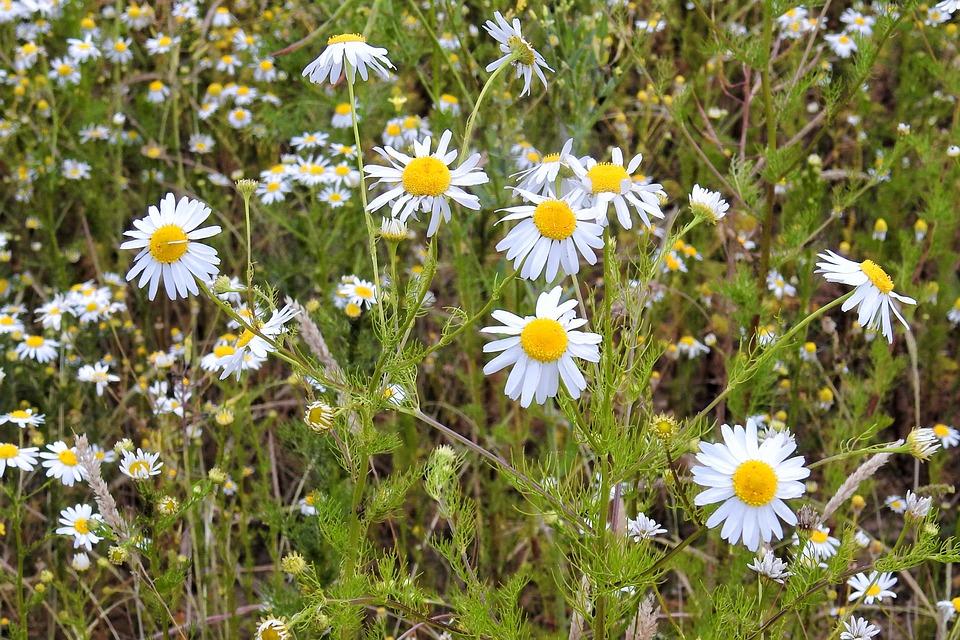 Chamomile, Chamomile Blossoms, Medicinal Herbs