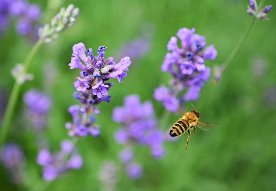 Lavender, Lavandula, Garden, Medicinal Plant, Flowers
