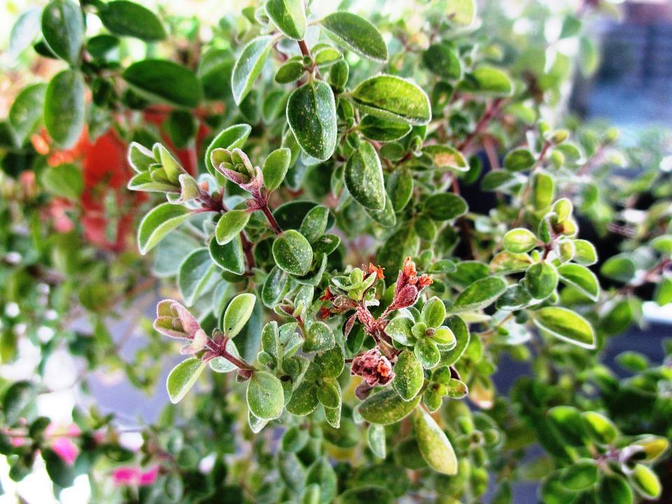 Marjoram, Kitchen Herb, Herb, Medicinal Plant