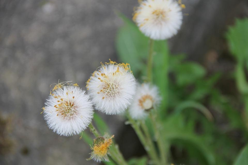 Tussilago Farfara, Medicinal Plant, Tussilago, Faded