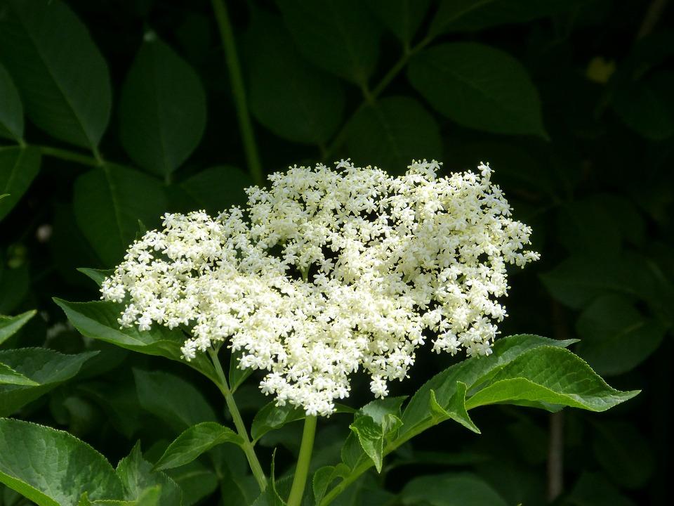 Elder, Elderflower, Medicinal Plants, Phytotherapy