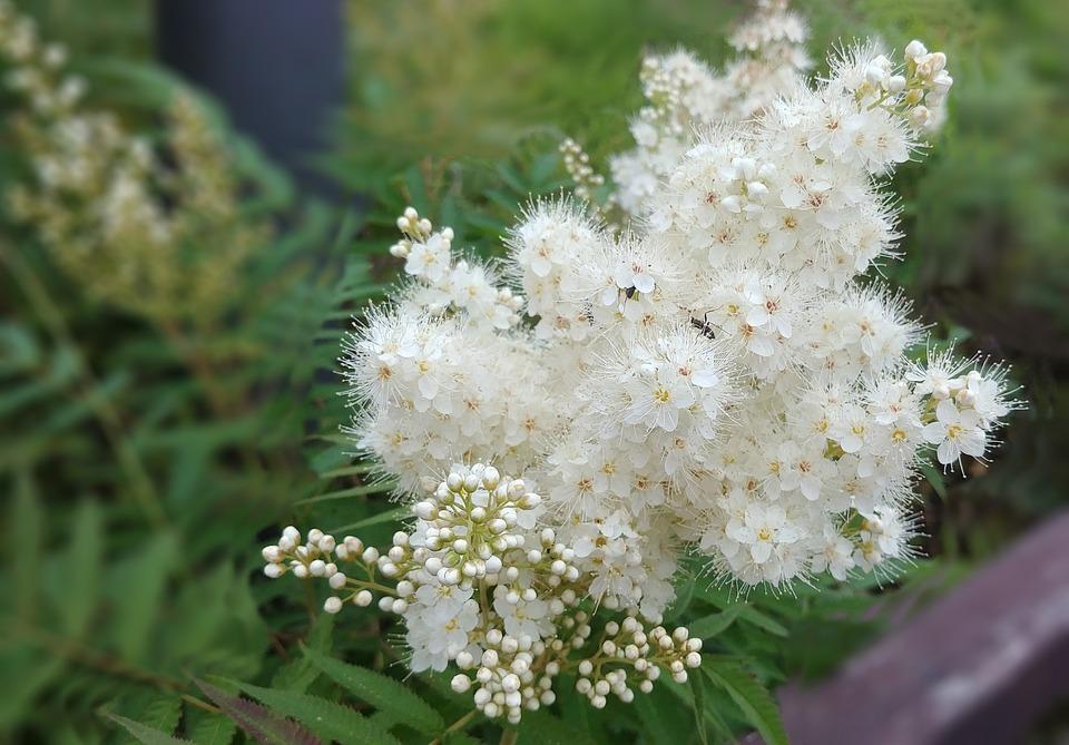 Free photo medicine rowan flower white flower tenderness rowan max rowan rowan flower white flower tenderness medicine mightylinksfo