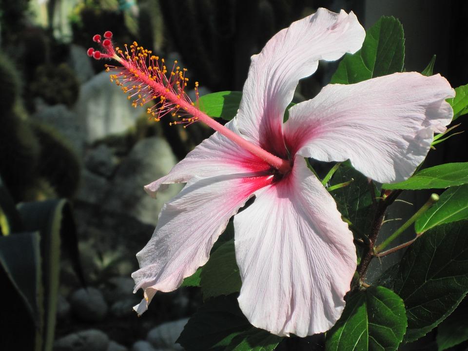 Mediterranean, Ischia, Hibiscus, Blossom, Bloom