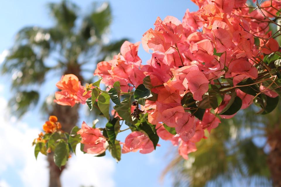 Bougainvillea, Flowers, Mediterranean, Mallorca, Red