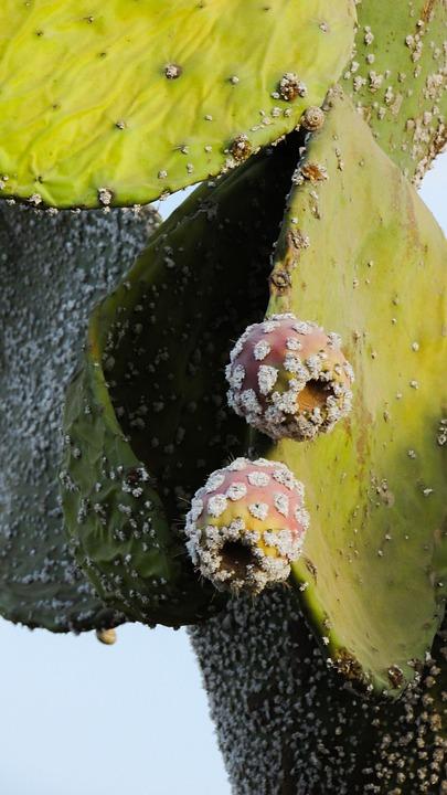 Prickly Pear, Plant, Cactus, Nature, Mediterranean