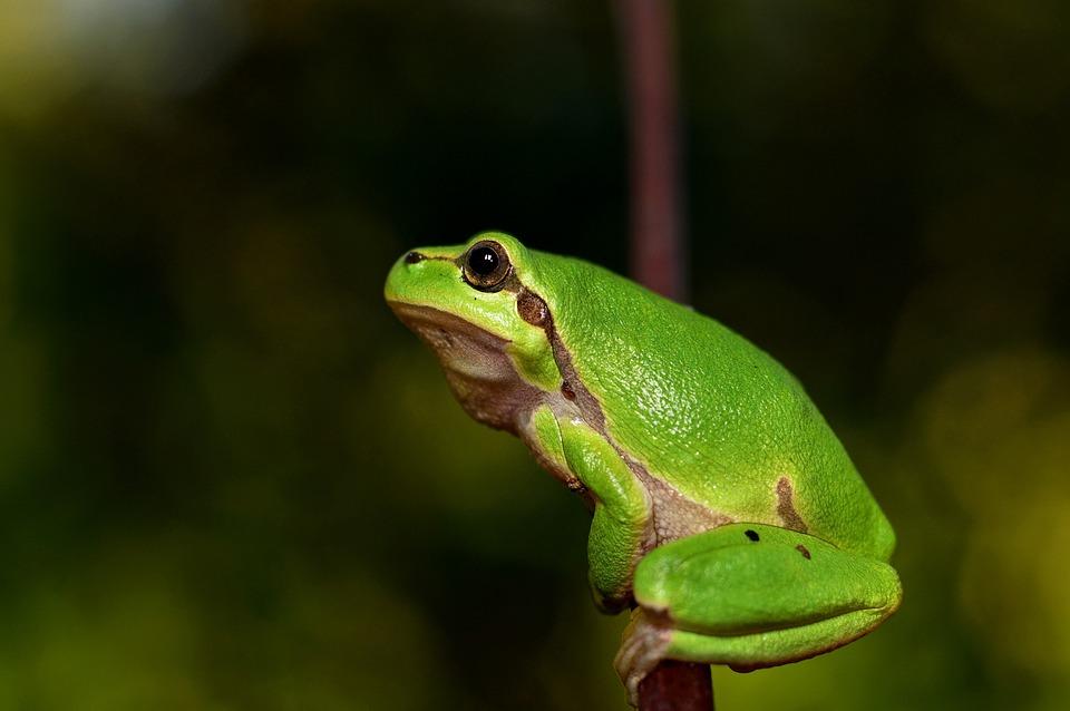 Mediterranean Tree Frog, Green Frog, Frog, Tree Frog