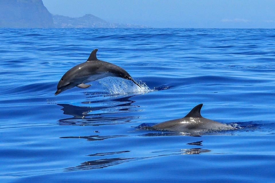 Dolphin, Ocean, Sea, Marine Mammals, Meeresbewohner