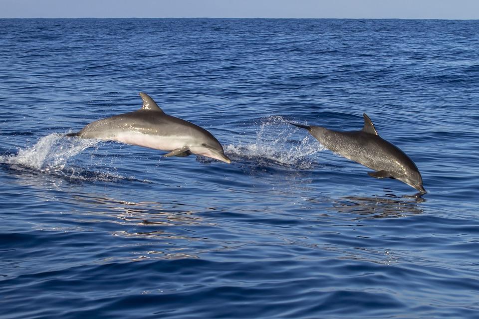 Dolphin, Waters, Meeresbewohner, Sea, Water Creature