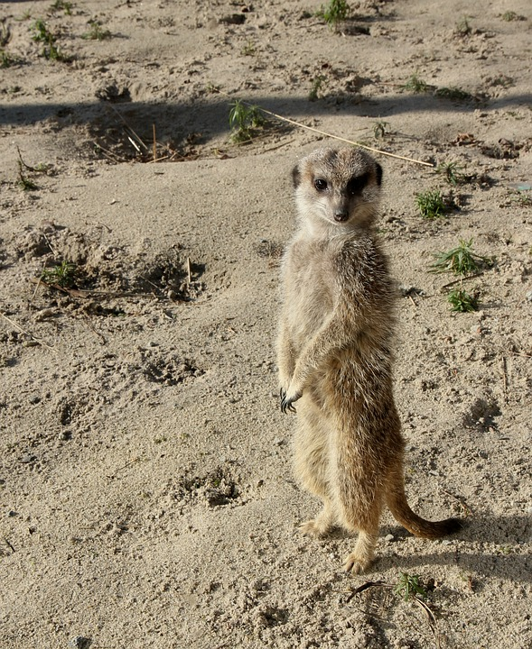 Mammals, Nature, Animal Kingdom, Desert, Meerkat, Zoo