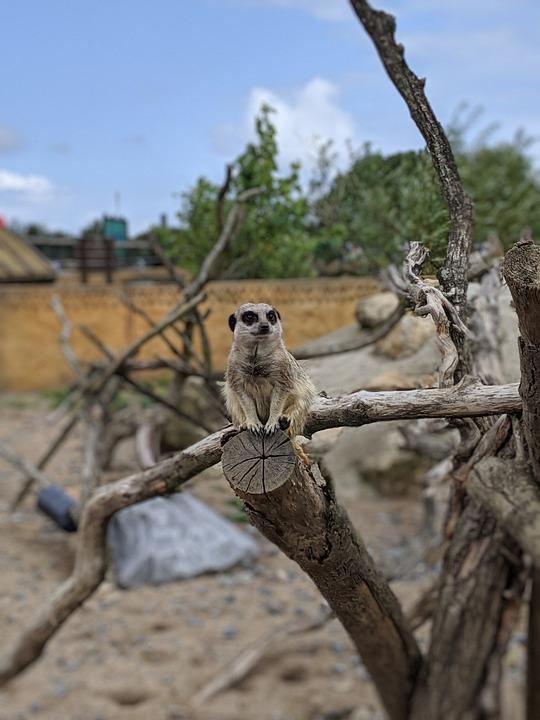 Zoo, Meerkat, Mammal, Cute, Animal, Nature, Curious