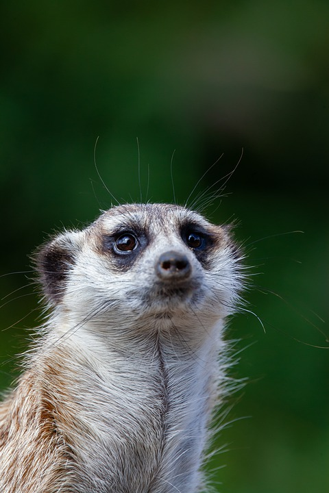 Meerkat, Watching, Close Up, Watch, Animal, Mammal