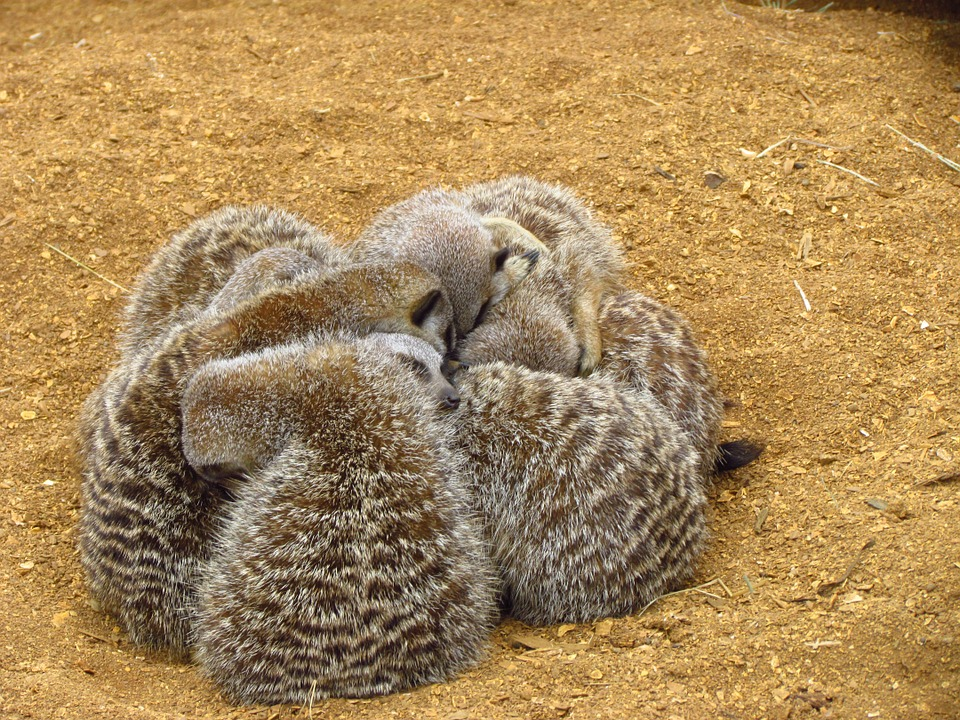 Meerkat, Cuddle, Sand, Furry, Cuddling, Zoo