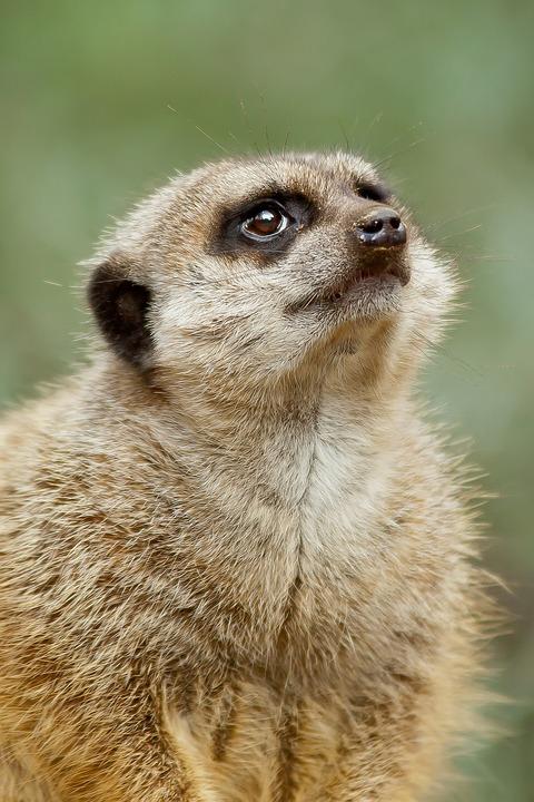 Meerkat, Predator, Cute, Africa, Nature, Mammal