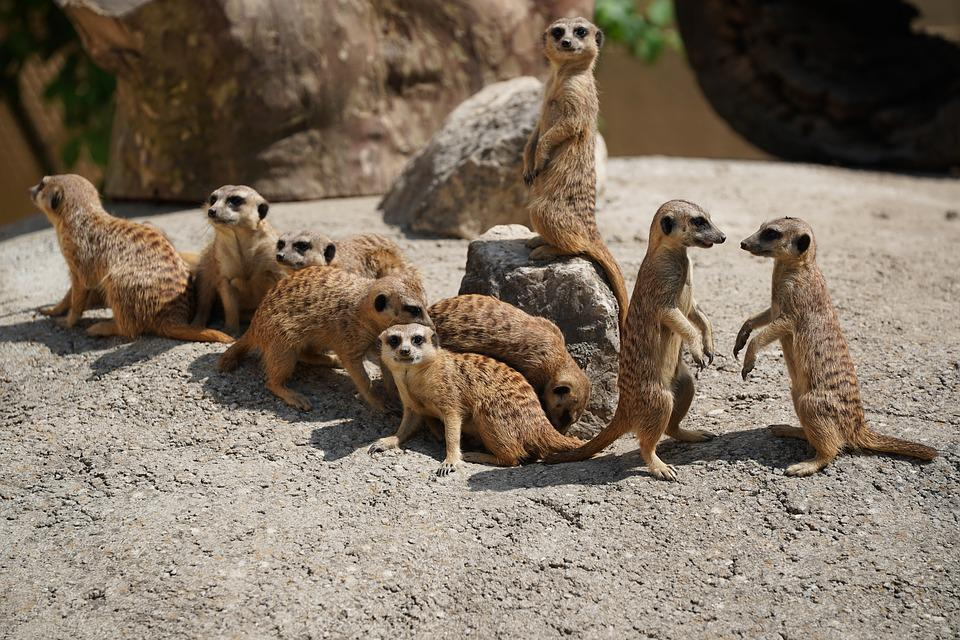 Family, Pack, Horde, Meerkat, Supervisor, Guard, Nature
