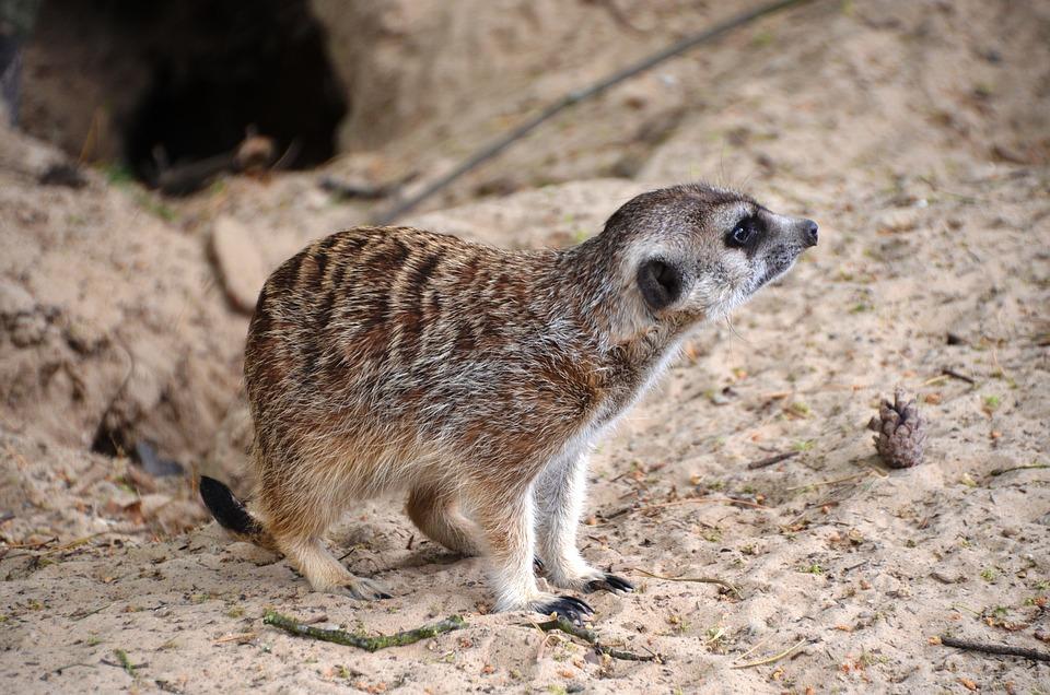 Meerkat, Suricata Suricatta, Meercat, Scharrtier
