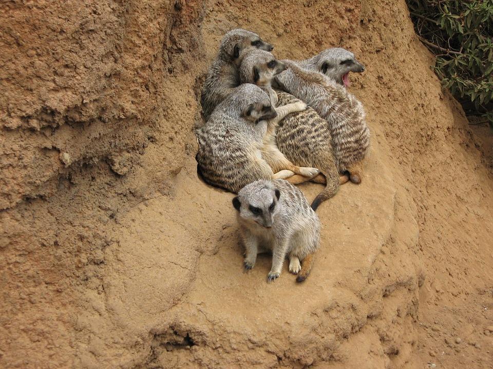 Meerkat, Suricate, Mongoose, Zoology, Mammalia