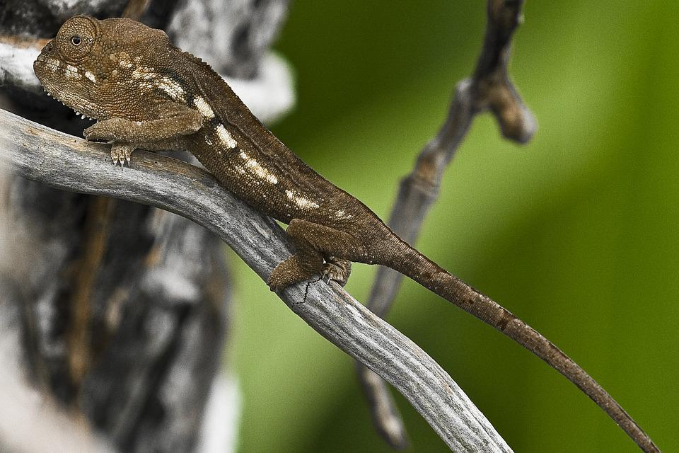 Meeting, Chameleon, Endemic