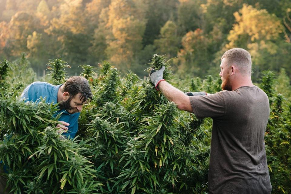 Cannabis, People, Harvest, Guys, Men, Harvesting, Weed