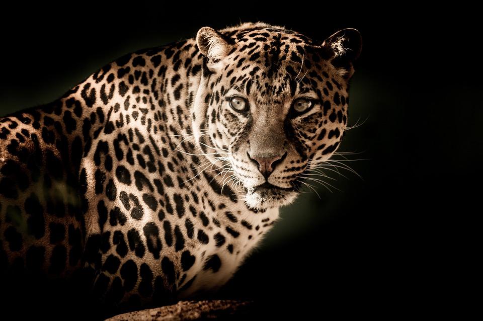 Leopard, Close, Eyes, Menacing
