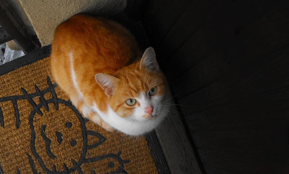 Cat, Tomcat, Pet, Meow
