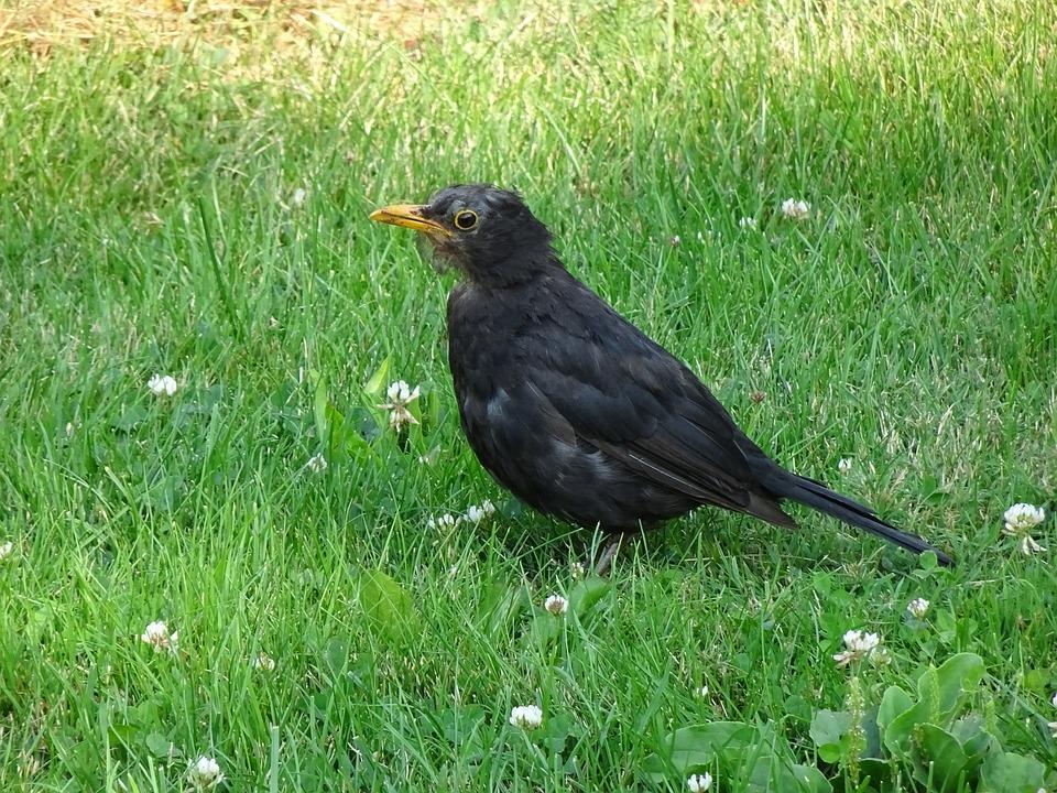 Birds, Merle Black, Young, Ornithology, Beak, Bird, Pen