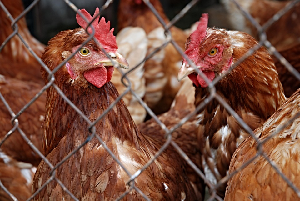 Hen, Pets, Poultry, Brown, Mesh