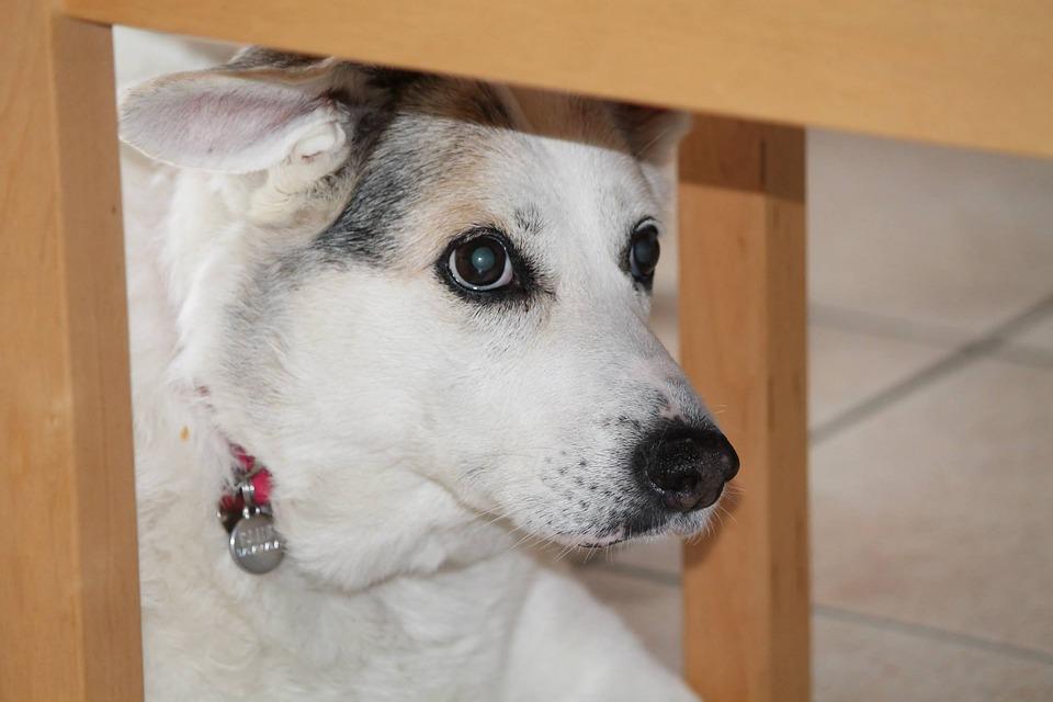 Dog, Mestizo, Senior, Iseth, Bellinzona, Switzerland