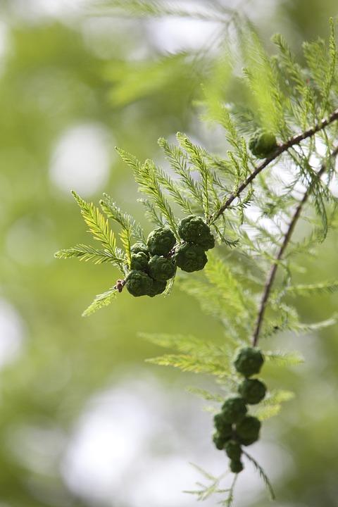Meta Sequoia, Fruit, Meta Information Of ' Fruit, Nutty