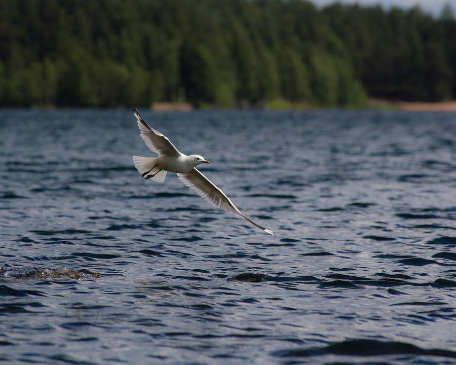 Seagull, Mew, Fly, Lake, Landscape, Finnish, Nature