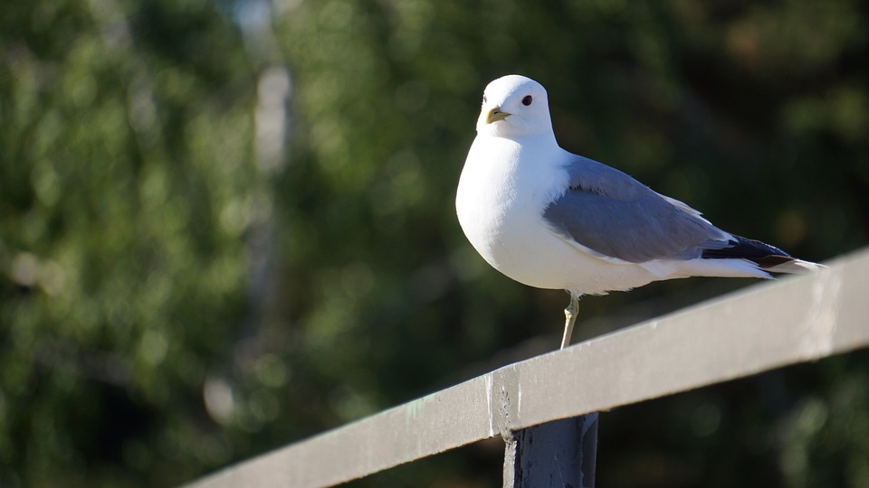 Bird, Mew, Larus Canus, Standing By A Fence, One-legged