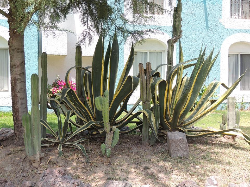Nature, Mexico, Landscape, Magüeyes, Mexican, Cactaceas