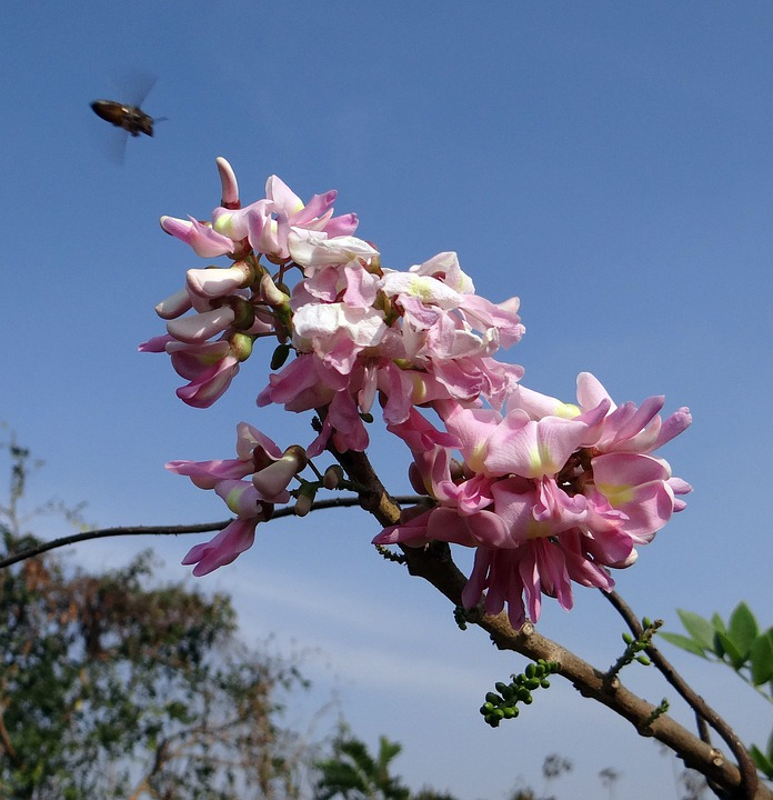 Mexican Lilac, Flower, Blue Sky, Bee, Insect, Wing
