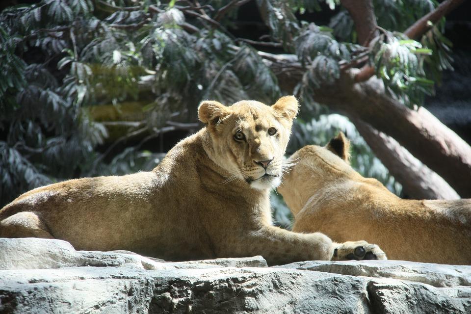 Lions, Usa, Mgm