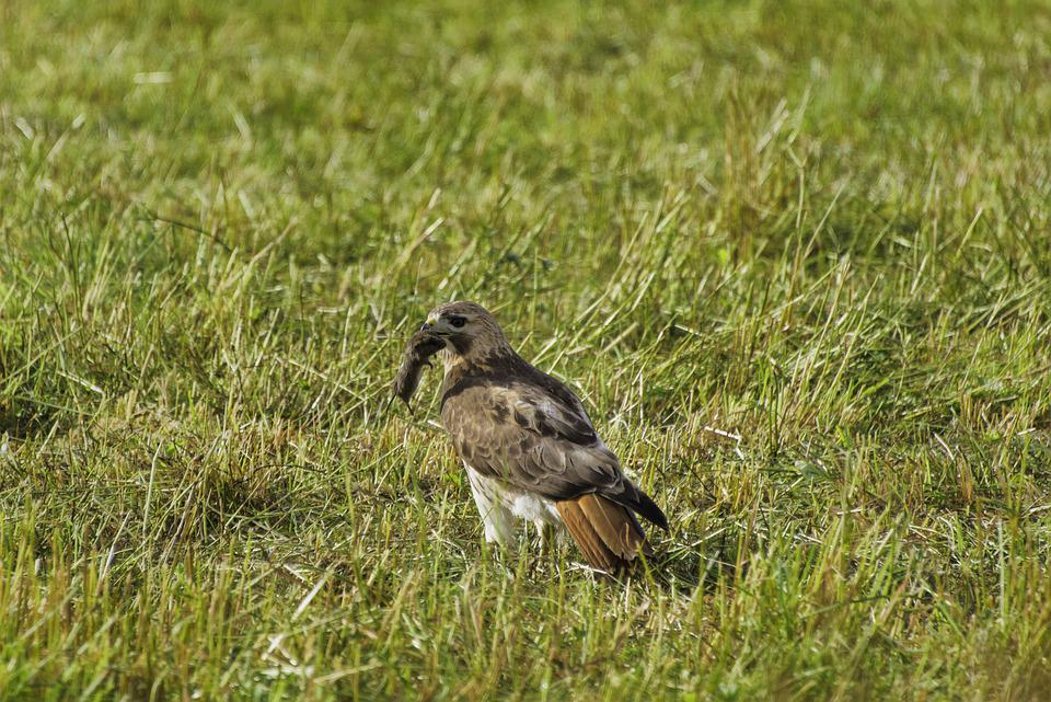 Hawk, Eagle, Mice, Prey, Catch, Hunting, Birds, Nature